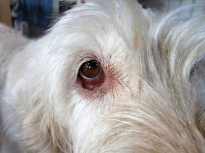 Dog Has Red Eyes With Discharge