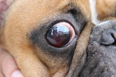 Curing a Dog Eye Infection with Home Remedies