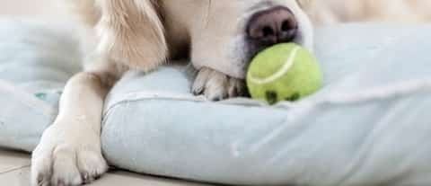 Dog need reatment for Lymphadenitis Read more at: https://wagwalking.com/condition/lymphadenitis