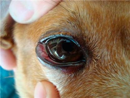 pink eye in dog