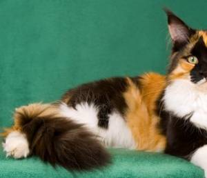 calico cat gender