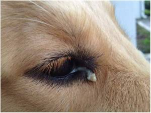 dog eye mucus