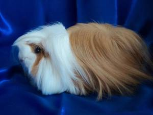 guinea pigs as pet