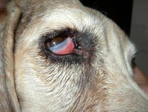 cherry eye in dogs causes