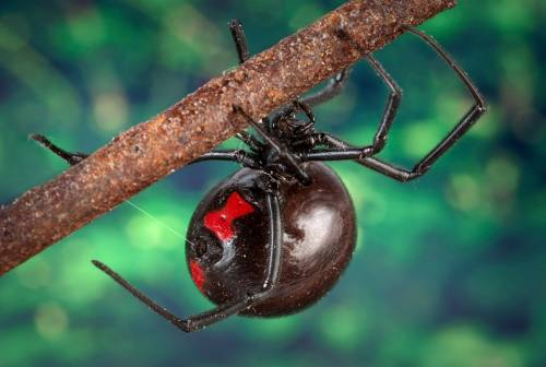 Black Widow Spider Bites in Cats