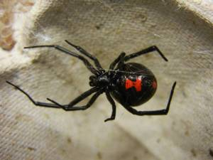black widows bites