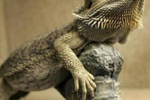 Bearded Dragon (Lizard): Habitat, Diet, and Care
