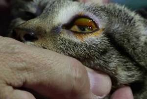 Conjunctivitis (Eye Infections) in Cats