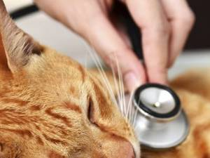 Distemper in Cats: Causes, Symptoms and Treatment of Panleukopenia