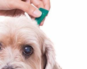 Flea Killer for Dogs - How to Prevent Fleas