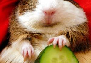 Guinea Pigs as Pets: Care Guide