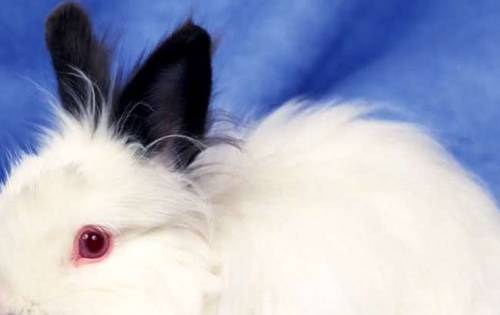Rabbit with Red Eyes