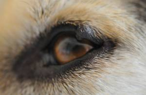 Eyelid Tumors in Dogs