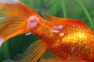 Common Aquarium Fish Fungal Infections: Causes and Treatment