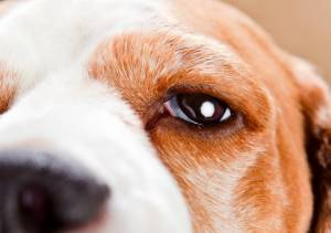 Dogs' Swollen Eye Symptoms and Causes