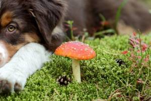 Are Mushrooms Poisonous to Dogs?