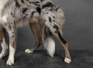 Myasthenia Gravis in Dogs: Symptoms, Causes, Treatment