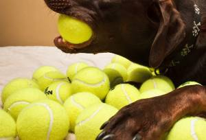 Are Tennis Balls Bad Toy for Dogs?