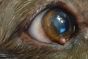 Skin Tag on Dog's Eyelid