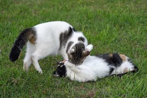 how to introduce two cats when one is aggressive