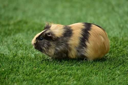 Guinea Pig on grass