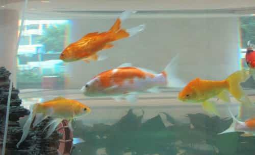 Goldfish feeding in water tank