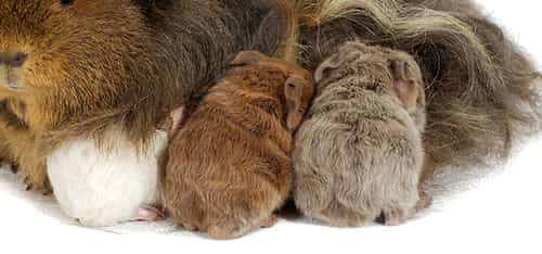 how many babies can a guinea pig have?