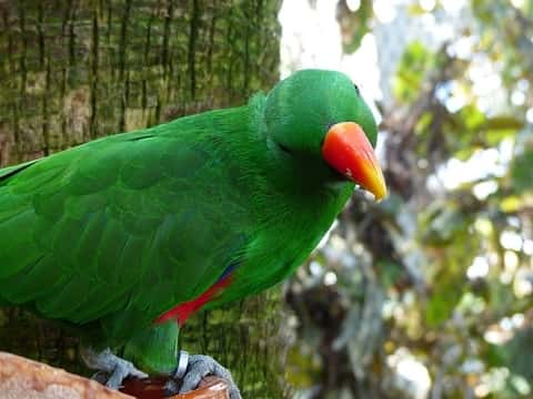 The eclectus parrot is unusual in the parrot family for its marked visible light sexual dimorphism in the colors of the plumage.