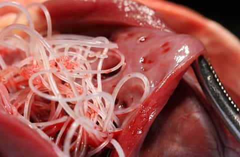 Adult heartworms from dog's heart