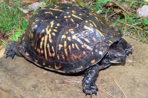 gulf coast box turtles