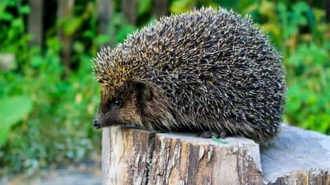 Hedgehogs can get mites from other infested hedgehogs