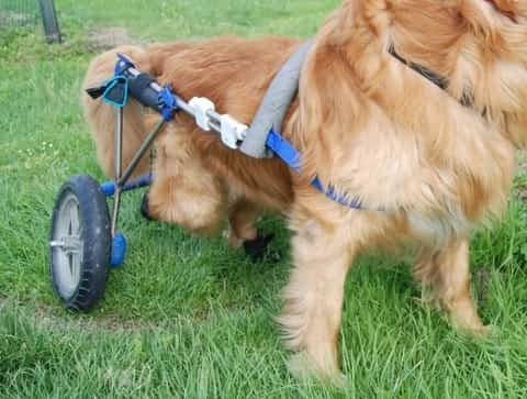 wheelchairs for dog with DM