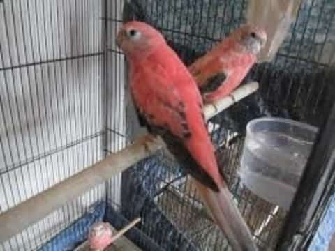 Rosy Bourke's Parakeets