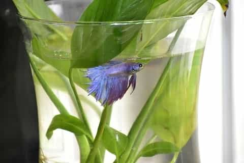 Betta fish in vase - bad idea
