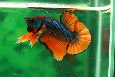 Male betta fish in captivity