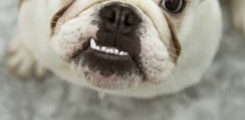 A dog has a loose tooth