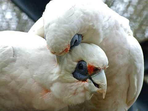 little cockatoos