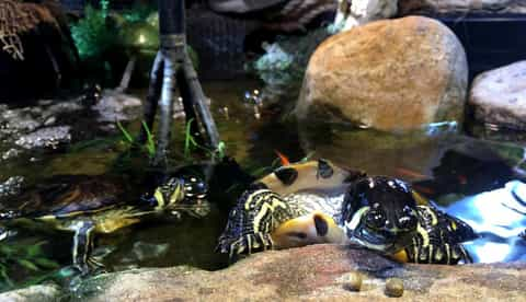 yellow bellied turtle care