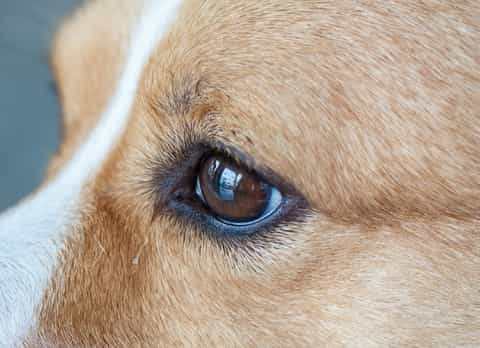 Eye Injuries in Dogs