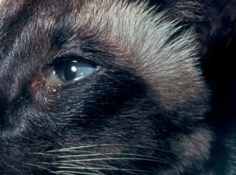 infected eyes in cats