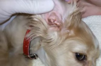 Homemade Dog Ear Infection Solution